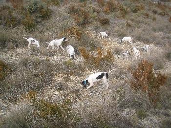 Elevage des treize vents - eleveur de chiens Ariégeois